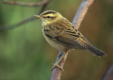 Compton Nature Reserve is haven for wildlife such as this beautiful Sedge Warbler.